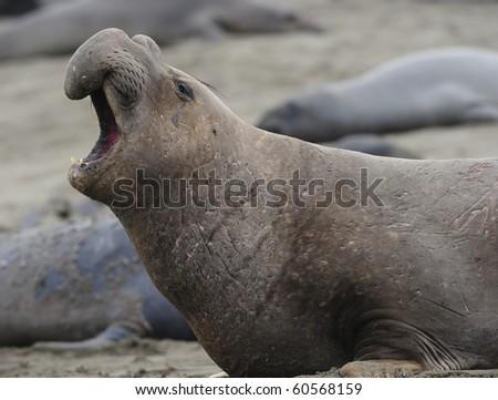 Elephant seal bellowing close up, piedras blancas, california