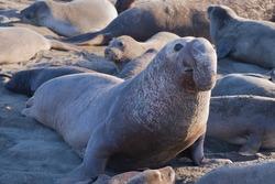 Elephant Seal Bull (Mirounga) Looking Up, Big Sur Beach, California, USA