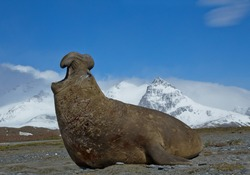 Elephant seal displaying, aggressive, on the beach, with blue sky and snowy mountain in background, South Georgia Island, Antarctica