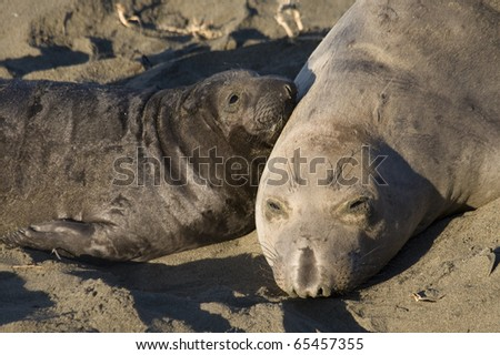 Elephant Seal Mom and her pup on Beach in San Simeon