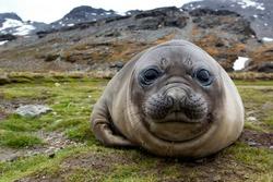 Elephant seal on beach of South Georgia