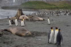 Elephant seals and king penguins on the beach at Gold Harbour - South Georgia island