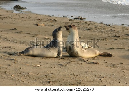 Elephant seals fighting at the beach, USA, California