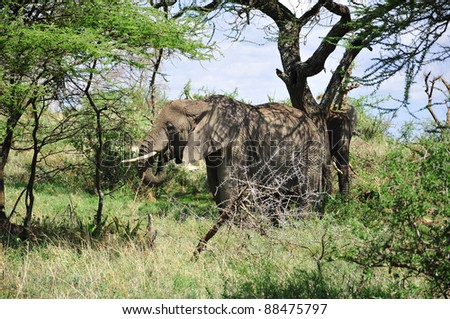 Elephant Serengeti Tanzania. The Serengeti hosts the largest mammal migration in the world, which is one of the ten natural travel wonders of the world.