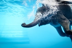 Elephant show swimming and blow the bubbles out of the trunk underwater vivid blue color in Thailand.