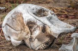 Elephant skeleton, Chobe National Park, Botswana