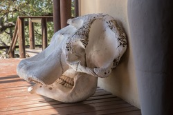 Elephant Skull at a private game reserve in Kruger National Park, South Africa.