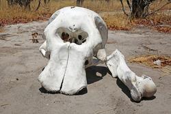 Elephant Skull in Botswana