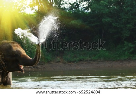 Elephant spraying water with his trunk, Elephant washing himself with water from a pond #652524604