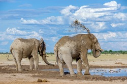 Elephant tossing mud on its back