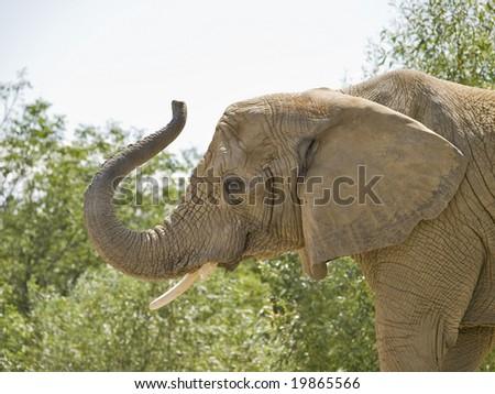 Elephant Trumpet Trunk