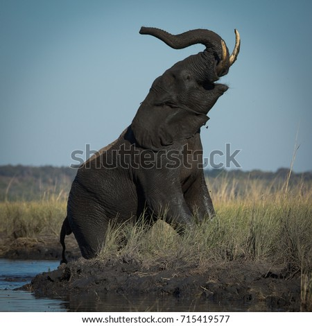 Elephant Trumpeting on River Bank in Botswana