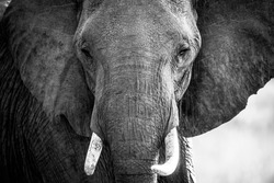 Elephant Trunk And Ivory With Face In Masai Mara In Kenya