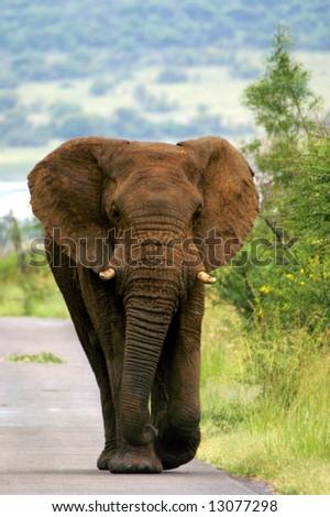 Elephant walking down road (Pilanesberg; South Africa)