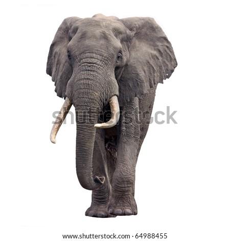 Shutterstock Elephant walking front view