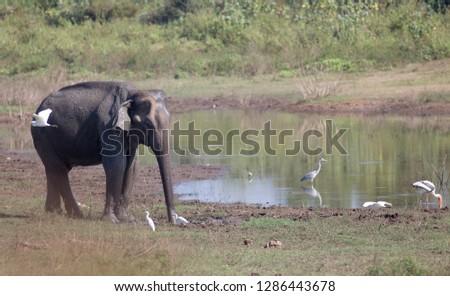 Elephant walking on meadow beside lake at National park Udawalawe of Sri Lanka. Wildlife in natural habitat #1286443678
