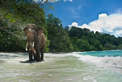 Elephant walking on the beach. Andaman Islands.