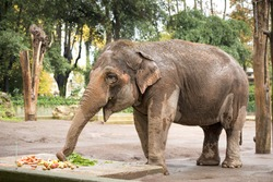 elephant while eating fruit and looking at you