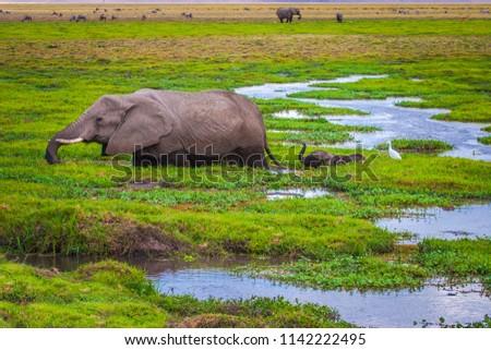 Elephant with an elephant. Africa. Kenya. Journey through Africa. African elephant goes through the swamp. Animals in Kenya. Safari in the national park. An elephant at Mount Kilimanjaro.