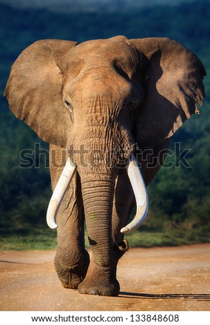Elephant with large teeth approaching - Addo National Park