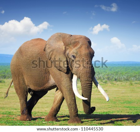Elephant with large tusks Addo National Park