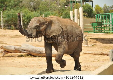 Elephant with trunk up at the zoo