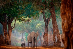 Elephant with young baby.  Elephant at Mana Pools NP, Zimbabwe in Africa. Big animal in the old forest, evening light, sun set. Magic wildlife scene in nature. African elephant in beautiful habitat.