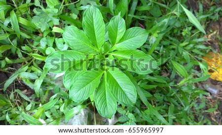 Elephant yam plant #655965997