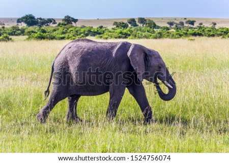 Elephants are the largest mammals. Huge lonely elephant in the grass of the savannah. Afrika. The Masai Mara Reserve in Kenya. The concept ecological, exotic, extreme of and photo tourism