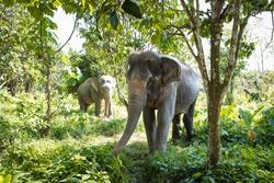 Elephants at Elephant sanctuary in Phuket, Thailand