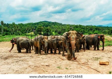 Elephants bathing in the river. National park. Pinnawala Elephant Orphanage. Sri Lanka #654726868