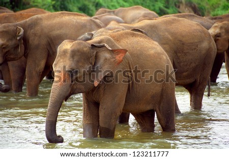 Elephants bathing, Pinnewala, Sri Lanka