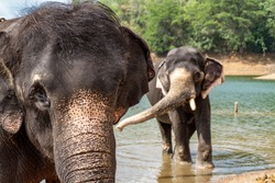 Elephants closeup, India. Two jumbo in the river. Adult elephant portrait. Travel photography flora and fauna of Asia. Nature and animals of Asian countries. Elephant and elephant cow in the lake.
