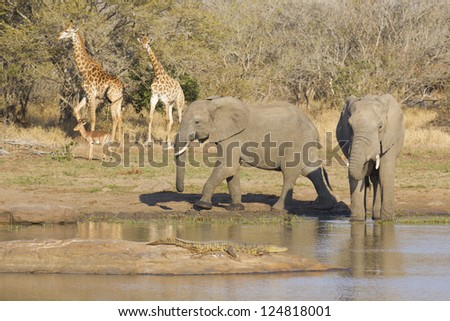 Elephants, Crocodile, Giraffe and Impala at a waterhole in Kruger Park, South Africa