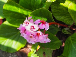 Elephants ears or Bergenia schmidtii large, oval, glossy evergreen leaves and pink flowers. Green thick-leaved foliage of Bergenia crassifolia or cordifolia flowering plant in the family Saxifragaceae