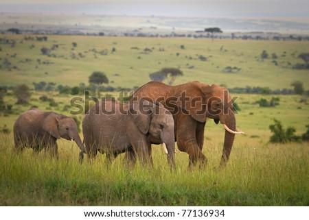 Elephants family crossing grassland, Masai Mara, Kenya