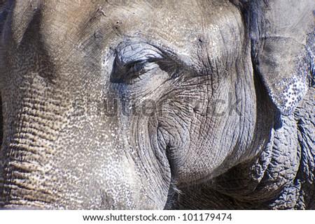 Elephants head close up