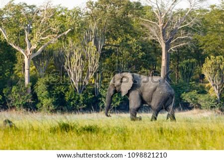 Elephants herd in Liwonde N.P. - Malawi