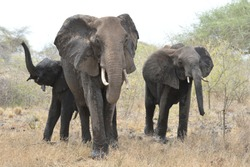 Elephants in angry standoff