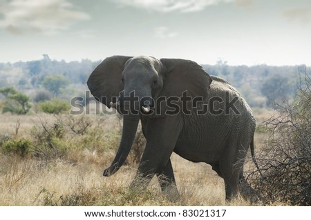Elephants in kruger park South Afrika