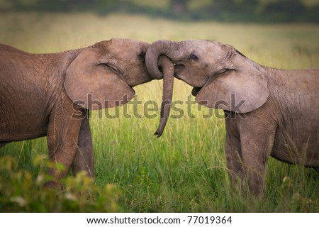 Elephants in love,Masai Mara,Kenya - stock photo