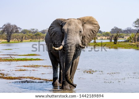 Elephants in moremi Game Reserve in Botswana in the okavango Delta, Africa stock photo
