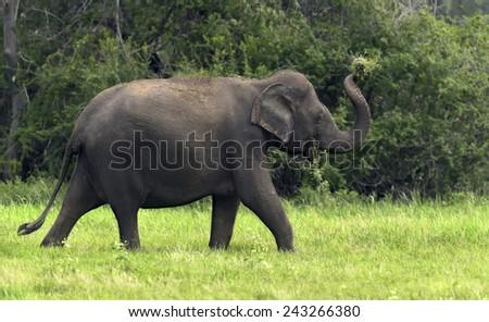 Elephants in National Park, Sri-Lanka