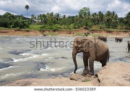 Elephants in the Maha Oya river, Pinnawela elephant orphanage, Sri Lanka. Jungle and stormy sky background.