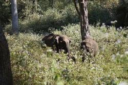 Elephants in wayanad wildlife santuary in wayanad, Kerala, India. Wayanad Wildlife Sanctuary is the second largest wildlife sanctuary in Kerala.