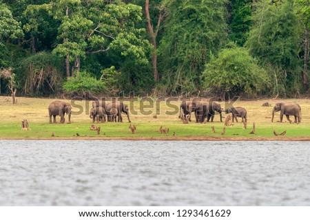 Elephants on the banks of Kabini river, Nagarhole, Karnataka, India. Zdjęcia stock ©