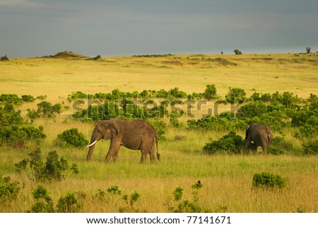 Elephants on the  savannah, Masai Mara, Kenya