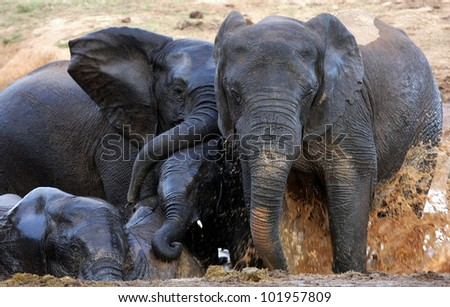Elephants splashing and playing in the mud and water