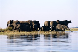 Elephants standing in the water.