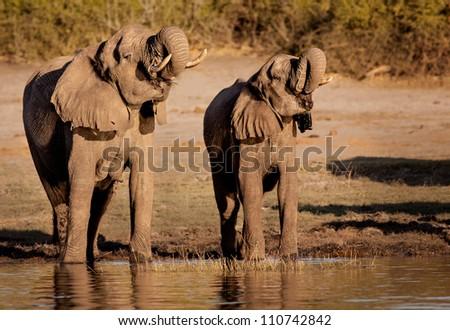Elephants synchronised drinking